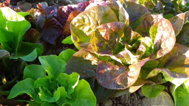 Salades de plein champs